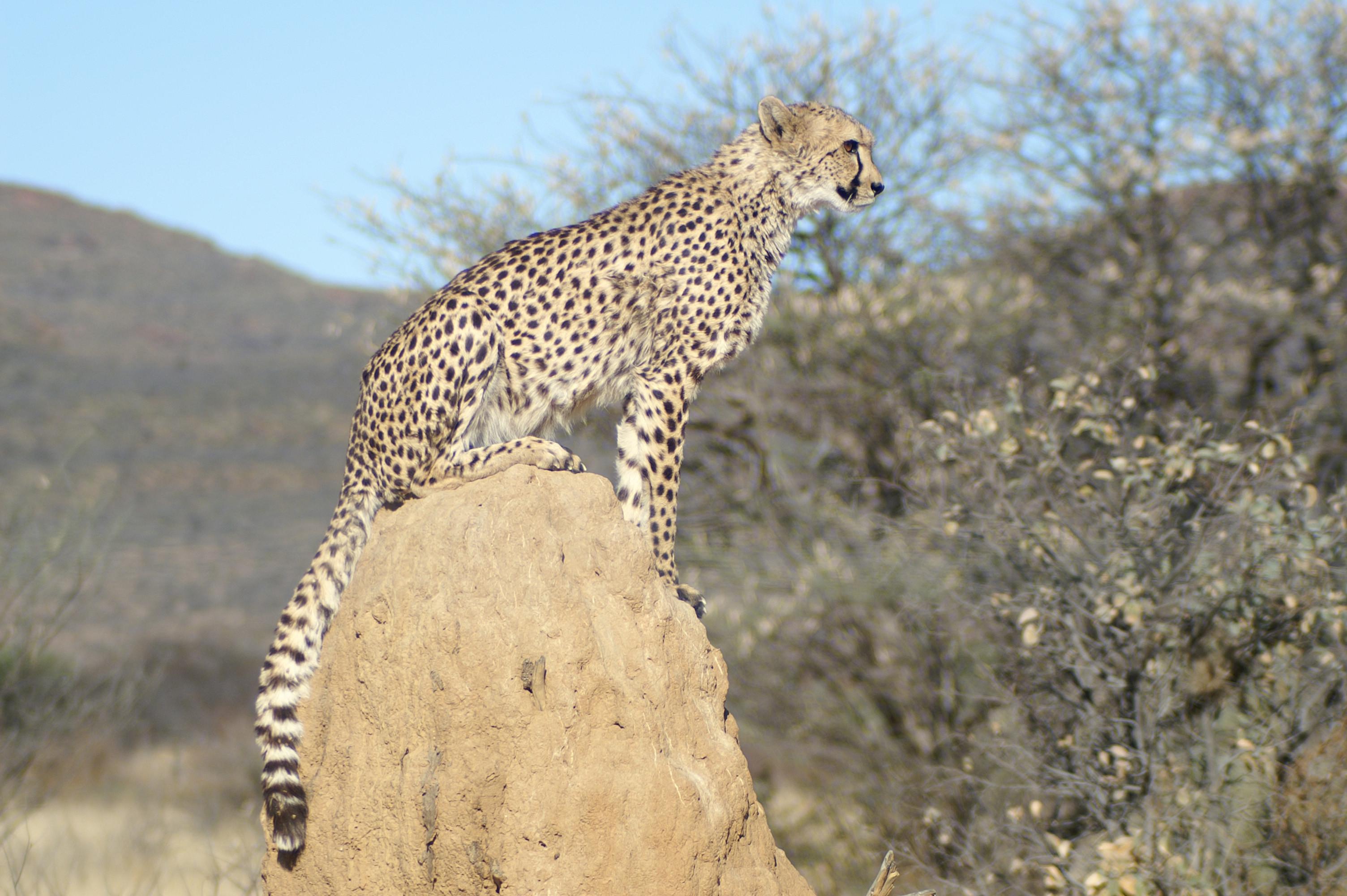 Cheetah heeft een uitzichtspunt gevonden op deze termietenheuvel