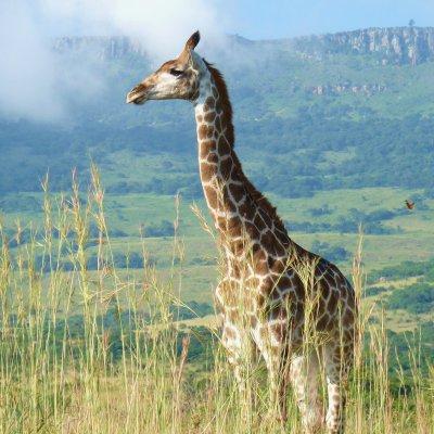 Voorvertoning Giraf in Ithala. Giraf is het 'logo' van Ithala