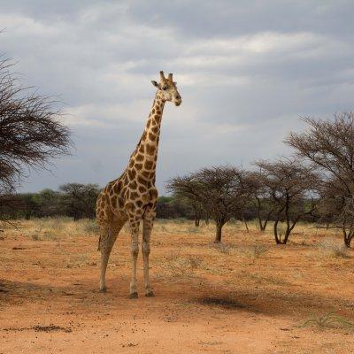Voorvertoning Deze giraf kwam erg dichtbij