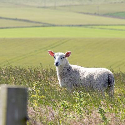 Voorvertoning Onderweg zien we veel schapen en koeien.
