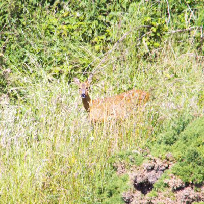 Voorvertoning Een nieuwsgierig hert staart ons aan om vervolgens in de begroeiing te verdwijnen.