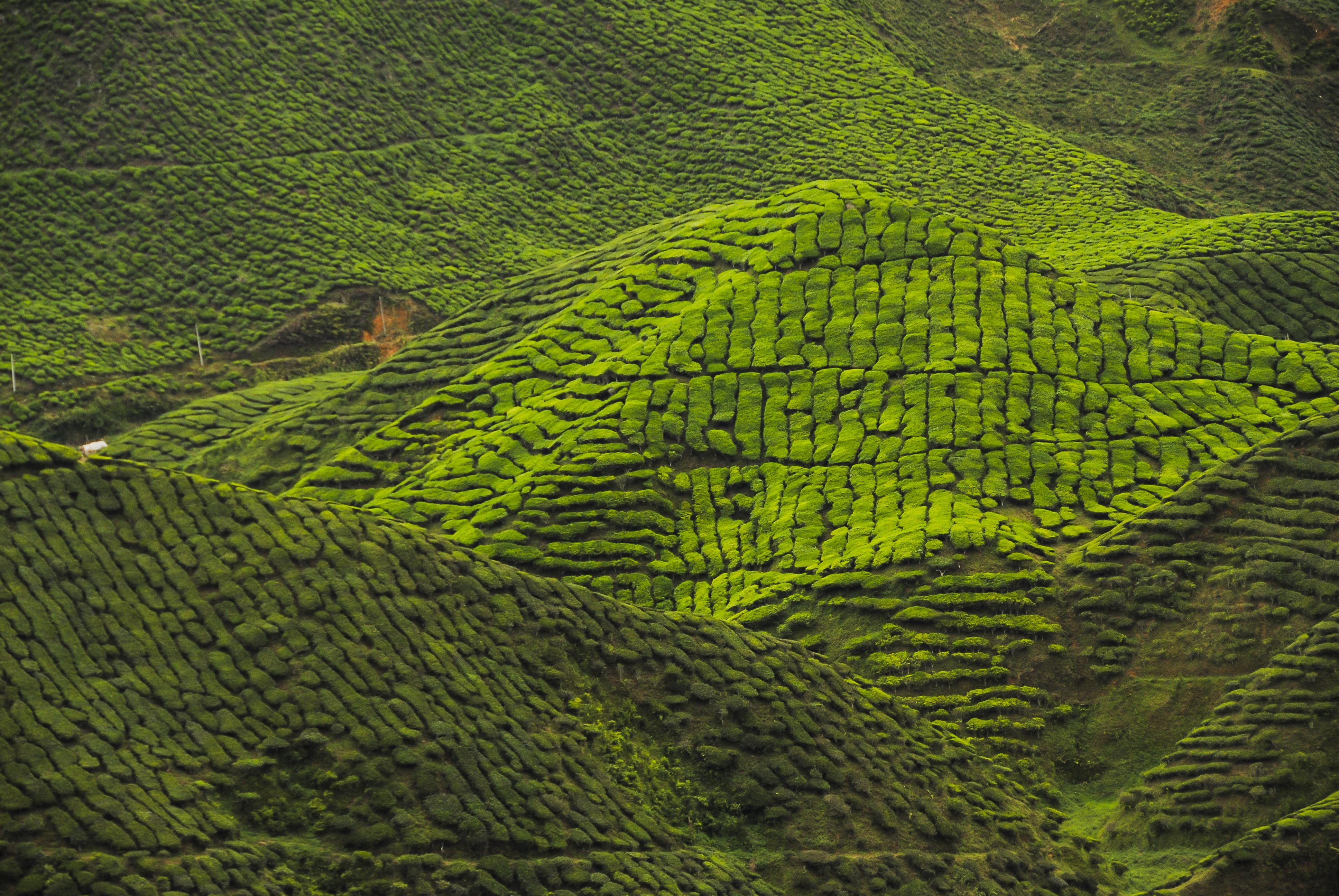 Wandelen in Kuala Lumpur en de frisse theeplantages van Cameron Highlands