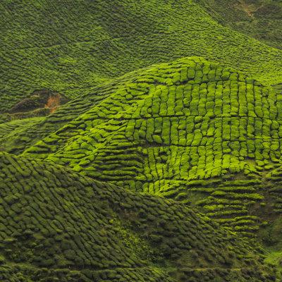 Voorvertoning Wandelen in Kuala Lumpur en de frisse theeplantages van Cameron Highlands