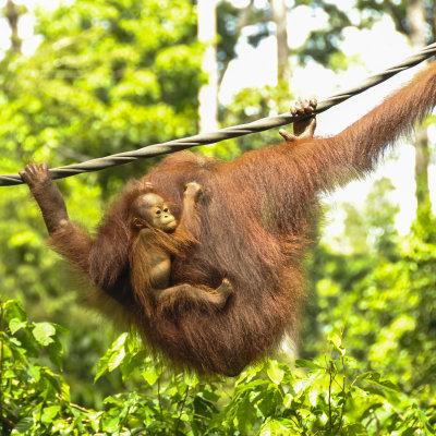 Voorvertoning Rondtrekken op Borneo, een jungletocht en duiken langs de kust