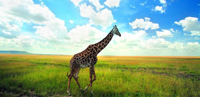 Bizar: giraffe overleeft leeuwenaanval van 4 uur