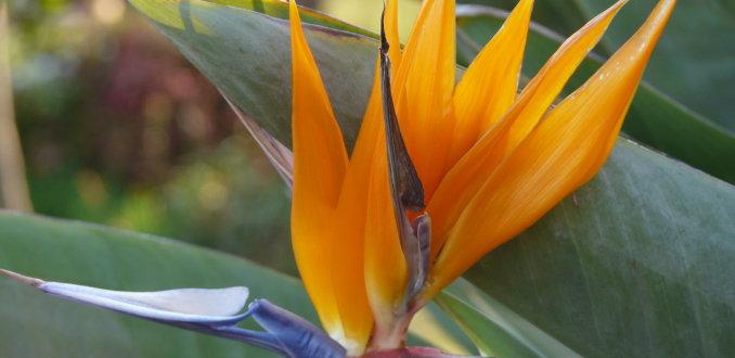 papegaaien bloem