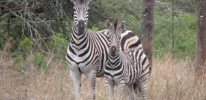 Moeder en zoon zebra