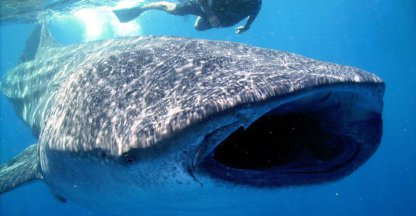 Working with whale sharks