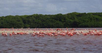 Grote kolonie flamingo's