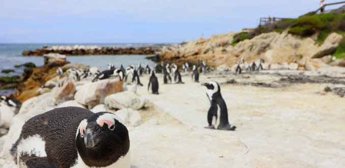 Pinguins kijken in Betty's Bay