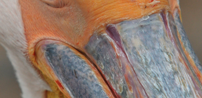 Pretty Close Pelican