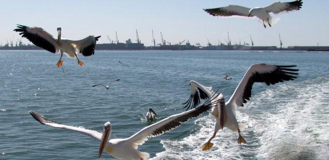 pelikanen op visjacht