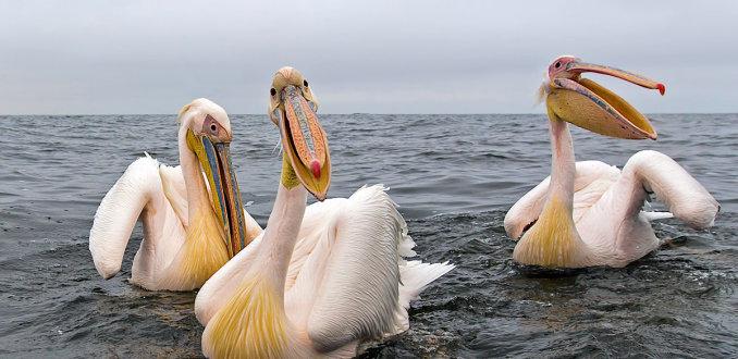3 pelikaantjes