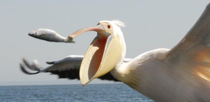 Vissende pelikaan