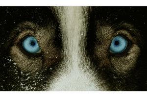 Husky's eyes