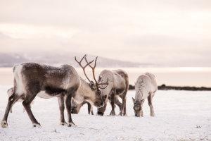 Rendieren rond de fjorden bij Tromsø