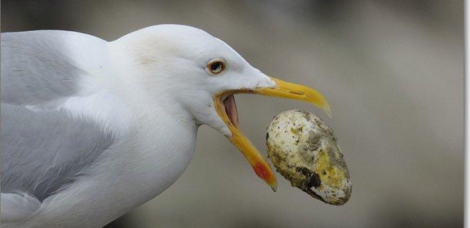 meeuw met ei van een Alk