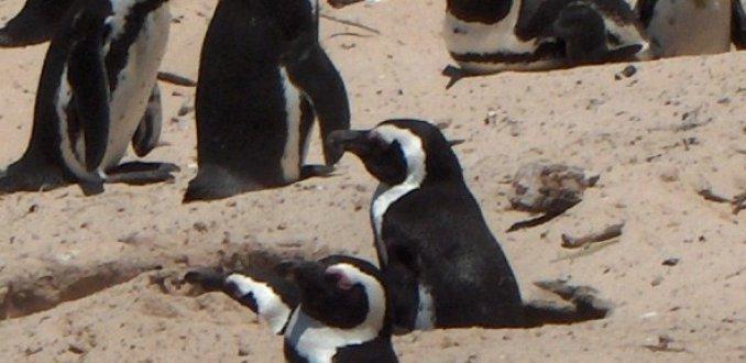Duitse Pinguins??