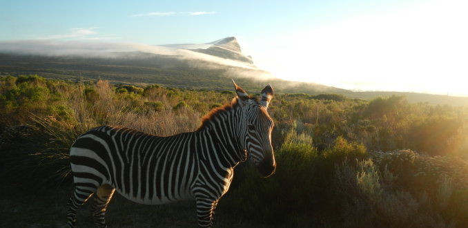 Sunrise zebra