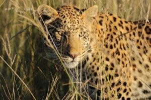 Luipaarden spotten in Okonjima, Namibië