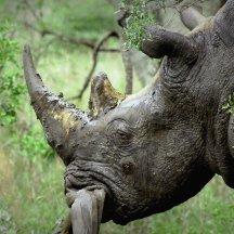 Neushoorn in Kruger Park