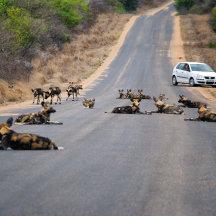 Afrikaanse wilde honden