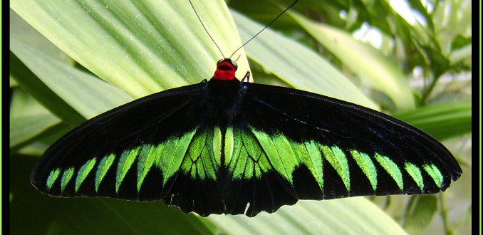 Zwart, groen en rode vlinder