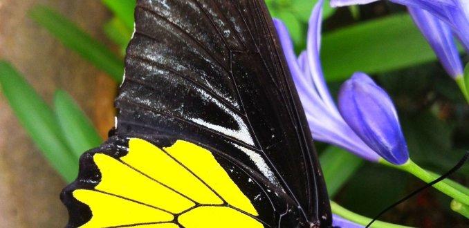 Vlinder in kleurrijk Maleisië
