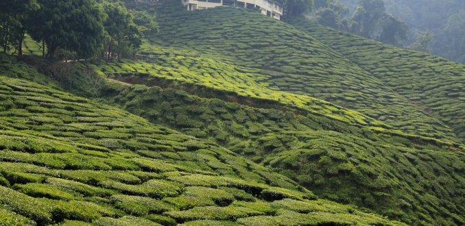 Cameron Bharat Tea Estate