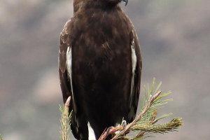 Afrikaanse zwarte kuifarend