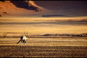 Eenzame oryx