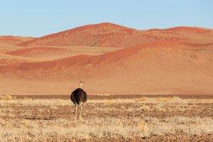 eenzame struisvogel