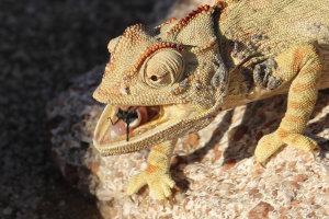 Namaque kameleon