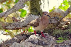 Verreaux duiven