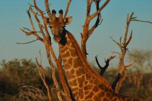 Op safari door Madikwe