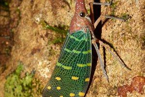 Bijzondere insecten in Maleisisch Borneo