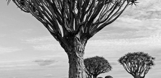 Kokerbomenwoud