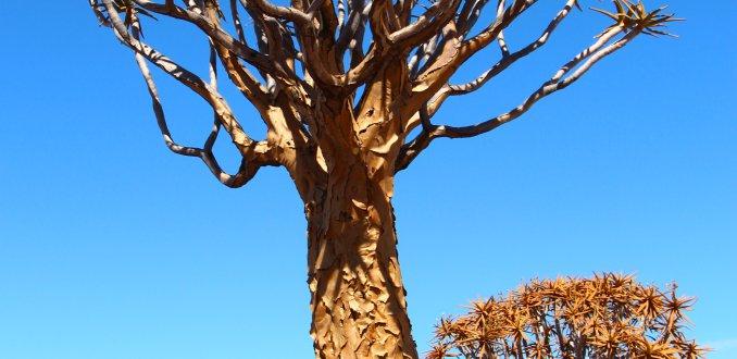 kokerbomen