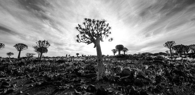 De unieke bomen op aarde bij Quiver Tree Forest, Africa