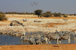 lots & lots of zebras!!!
