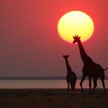 Giraffes bij zonsondergang
