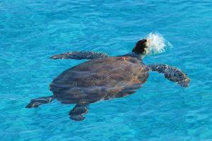 Zeeschildpad Westpunt