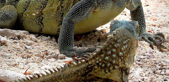 Leguanen Spotten op Curaçao