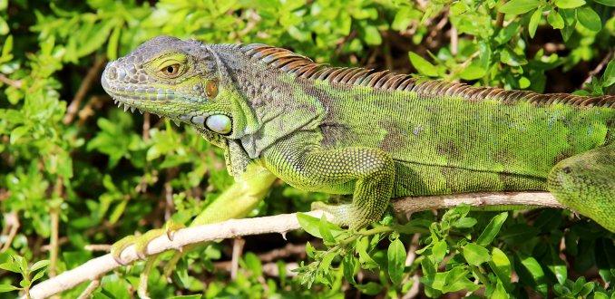 Leguanen eiland