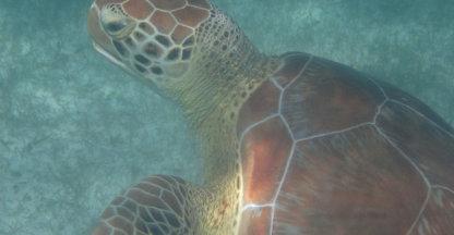 Kosteloos zwemmen met schildpadden!