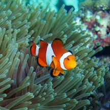 Anemonefish Sipadan