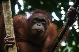 The Man of the Jungle in Borneo
