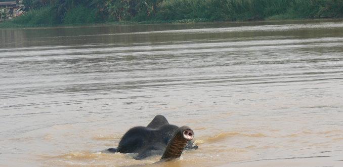 Zwemmende wilde olifant
