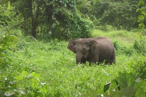 Jonge wilde olifant