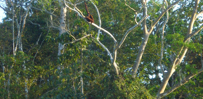 op zoek naar wildlife op Kinabatangan river